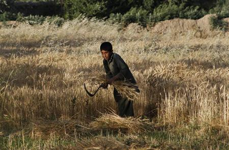 An Afghan boy harvests wheat at his father's farm outside Kabul June 9, 2011. REUTERS/Mohammad Ismail