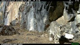 A snow leopard is captured in this remote camera in Wangchuck Centennial Park in Bhutan in this photograph released on February 14, 2012.  REUTERS/World Wildlife Fund
