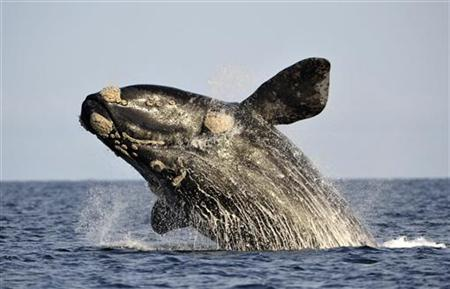 A southern right whale, known in Spanish as ballena franca austral, jumps off the water in the Atlantic Sea, offshore Golfo Nuevo, near Argentina's Patagonian village of Puerto Piramides, June 17, 2011. REUTERS/Maxi Jonas