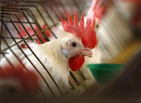 A caged hen feeds at an egg farm in San Diego County in this picture taken July 29, 2008. REUTERS/Mike Blake/Files