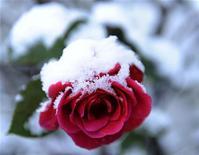 Покрытая снегом роза в Мулине (Шотландия), 5 декабря 2011 года. Праздничные выходные дни в Москве будут морозными, с температурой по ночам у минус 15 градусов, ожидают синоптики. REUTERS/Russell Cheyne