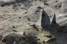 <p>Un grupo de plantas cubiertas por telarañas durante el escape de un grupo de arácnidos de unas inundaciones en la región de Wagga Wagga, Australia, mar 7 2012. Miles de arañas crearon espeluznantes telas sobre grandes áreas de Australia, afectada por las inundaciones, después de verse obligadas a buscar refugio por la crecida de las aguas. REUTERS/Daniel Munoz</p>