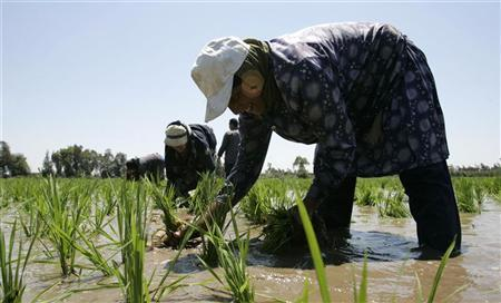 Insight: Egypt's rice export ban only benefits smugglers