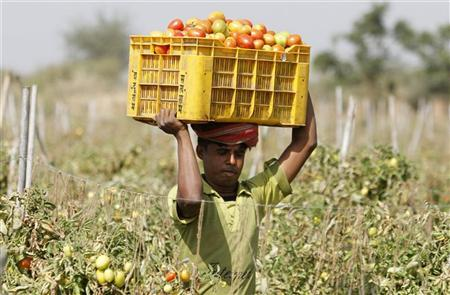 A farmer carries a basket of tomatoes to load them on to a tractor trolley in the outskirts of Ahmedabad February 14, 2012. REUTERS/Amit Dave