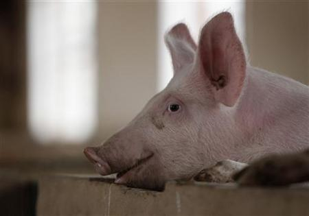 A pig is pictured at a farm on the outskirts of Kunming, capital of southwest China's Yunnan province November 30, 2011. REUTERS/Jason Lee