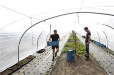 Farmers work in a polytunnel, where vegetables for Belgian chef Gert De Mangeleer's restaurant Hertog Jan, the country's latest three-star Michelin restaurant, are grown, near Bruges March 29, 2012. REUTERS/Francois Lenoir