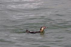 Сбежавший из аквариума пингвин Гумбольдта плавает в Токийском заливе, 16 мая 2012 г. После того как пингвин под номером 337 совершил дерзкий побег из аквариума в Токио и исчез в водах Токийского залива два месяца назад, многие опасались печального окончания приключений пернатого беглеца. REUTERS/Handout.