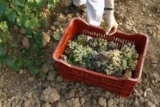 A visitor harvests grapes at a vineyard in Pallini, a few kilometres from Athens, September 14, 2008. REUTERS/Yiorgos Karahalis