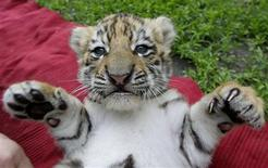 A Siberian tiger cub plays at a private zoo in Abony, east of Budapest May 17, 2012. REUTERS/Stringer