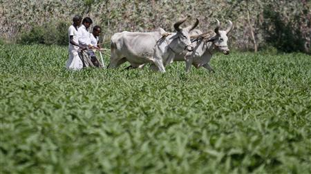 Farmers work in their guar field at Shinoli village in the western Indian state of Gujarat April 3, 2012. REUTERS-Amit Dave