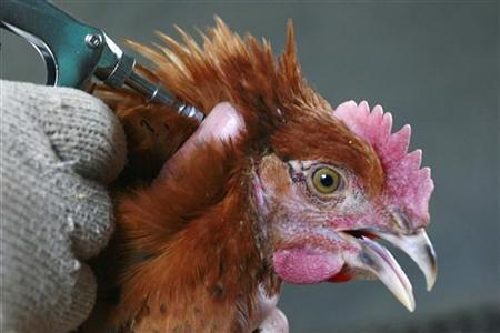 A worker injects a chicken with bird flu vaccine at a farm in Suining, Sichuan province, February 26, 2008. REUTERS/Stringer/Files