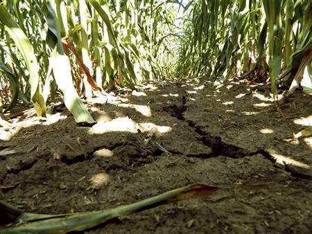 A drought-damaged corn field is pictured near Emery, Iowa July 27, 2012. REUTERS/Karl Plume