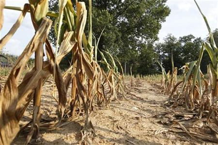 Corn plants struggle to survive on the drought-stricken farm field in Oakland City, Indiana, July 24, 2012. . REUTERS/ John Sommers II