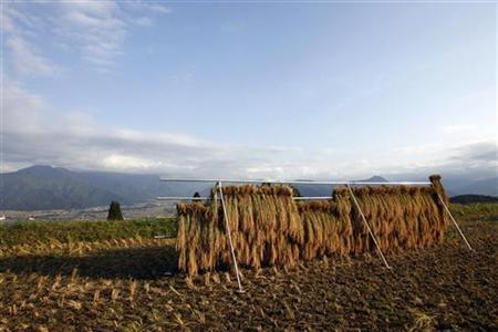 Bundled stalks of rice plants are hung at a rice paddy in Minami-Uonuma, north of Tokyo, October 18, 2007. REUTERS/Toru Hanai