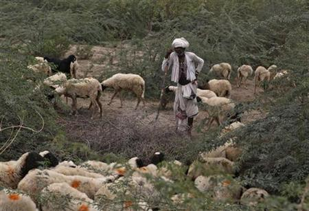 As drought looms in India, fear for its cattle - Reuters