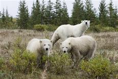 Polar bears are seen south of Churchill, Manitoba, in this undated handout photo. REUTERS/2012 Daniel J. Cox/NaturalExposures.com/adp/Handout