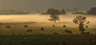Cattle graze in a mist-covered field at dawn on a farm outside Chilliwack, east of Vancouver, British Columbia September 10, 2011. REUTERS/Andy Clark