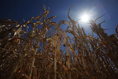 Wilted corn crops are seen in a drought-stricken field in Drenje, eastern Croatia August 21, 2012. REUTERS/Antonio Bronic