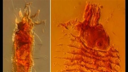 8月29日、イタリアの研究者らは、琥珀(こはく)の中から2億3000万年前のダニを発見したことを明らかにした(2012年 ロイター/NATIONAL RESEARCH COUNCIL)