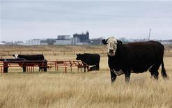 Cattle graze in a field near the XL Foods plant that sits idle in Brooks, Alberta, October 10, 2012. REUTERS/Todd Korol