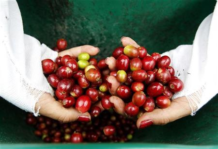 A woman inspects coffee berries in a plantation near Viota in Cundinamarca province March 2, 2012. Colombia, the world's largest producer of high-quality Arabica beans, exported 7.7 million 60kg bags in 2011 and it is currently the third producer of coffee in the world. REUTERS/Jose Miguel Gomez
