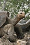 """Гигантская галапагосская черепаха Одинокий Джордж 29 апреля 2007 года. Редкий вид гигантских черепах с Галапагосских островов может вернуться в природу, несмотря на смерть в июне """"последнего из могикан"""" - знаменитого Одинокого Джорджа. REUTERS/Guillermo Granja/Files"""
