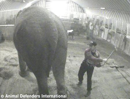 UK circus owner found guilty of elephant cruelty