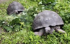 """Una especie de tortugas gigantes de las Islas Galápagos podría ser revivida a pesar de la muerte a principios de este año del famoso """"Solitario George"""", un imán turístico e icono de la conservación que fue el último de su especie. En la imagen, de 12 de julio, dos tortugas gigantes de Galápagos en el zoo Riga. REUTERS/Ints Kalnins"""