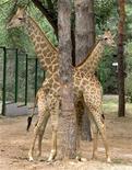 Африканские жирафы в зоопарке Алма-Аты 22 сентября 2003 года. Горнодобытчик ENRC расследует обвинения в коррупции в Казахстане и Африке. REUTERS/Shamil Zhumatov