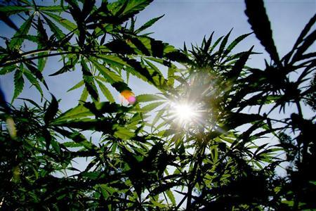 The sun shines though the distinctively shaped leaves of marijuana plants during police raid in the remote northern Hhohho region in Swaziland, May 24, 2005. REUTERS/Mike Hutchings