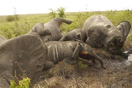 The carcasses of some of the 22 elephant slaughtered in a helicopter-bourne attack lie on the ground in the Democratic Republic of Congo's Garamba National Park, in this undated handout picture released by the DRC Military. REUTERS/DRC Military/Handout