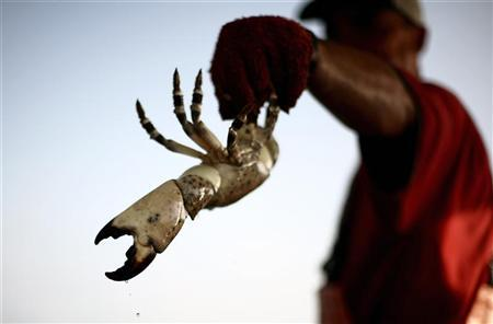 A crabber holds a stone crab about 50 miles (80 km) north of Marathon in the Florida Keys. REUTERS/Carlos Barria