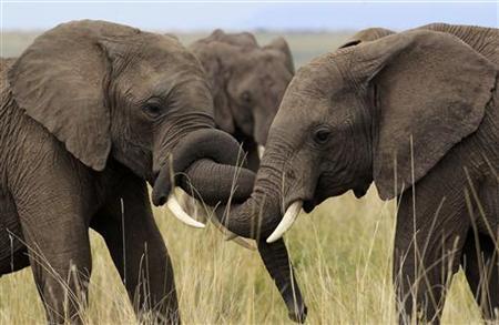Elephants play at the Maasai Mara game reserve, about 300 km (186 miles) southwest of Kenya's capital Nairobi, October 31, 2012. REUTERS/Thomas Mukoya