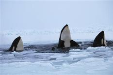 Three killer whales surface through a breathing hole in the ice of Hudson Bay near the community of Inukjuak, Quebec January 9, 2013. The three whales are part of a pod of several that are trapped in the sea ice of the Hudson Bay. The whales are taking turns breathing through a hole in the ice about the size of a pickup truck. Inukjuak's mayor has called upon the Canadian government to send an icebreaker to save them. REUTERS/Maggie Okituk