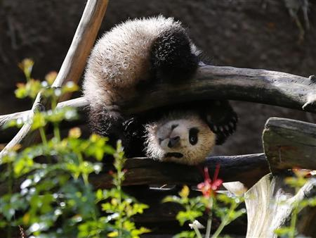 Giant Panda cub Xiao Liwi is shown for the first time on public display after the section of the exhibit frequented by the five-month old bear was opened to the public at the San Diego Zoo in San Diego, California, January 10, 2013. REUTERS/Mike Blake