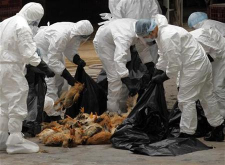 Health workers pack dead chicken at a wholesale poultry market in Hong Kong December 21, 2011. REUTERS/Tyrone Siu