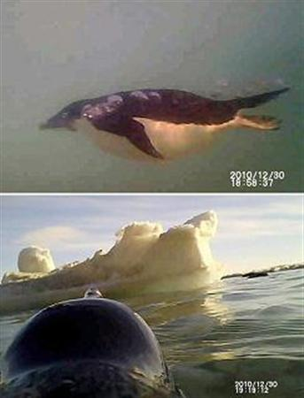 A combination photo shows video grab images of (top) an Adelie penguin swimming in the sea and (bottom) the head of a penguin and an ice floe, both taken by a video camera on penguins' backs in Antarctia December 30, 2010 and released by National Institute of Polar Research, Japan on March 8, 2011. REUTERS/National Institute of Polar Research, Japan/Handout/Files