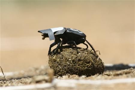 Dung beetles look to the stars