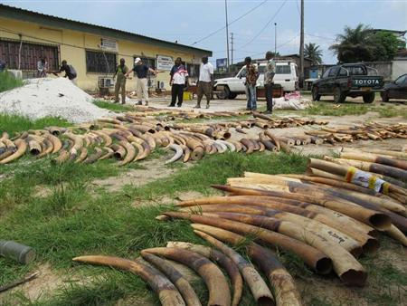 Stockpiles of ivory are seen in Gabon, in this undated handout photo. REUTERS/TRAFFIC/Handout