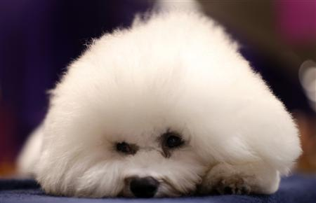 Honor, a Bichon Frise from Goshen, Indiana lays atop his cage as he waits in the benching area prior to the first night of Group judging during the 137th Westminster Kennel Club Dog Show at Madison Square Garden in New York, February 11, 2013. REUTERS/Mike Segar
