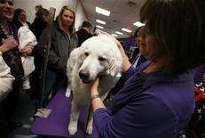 Tanner, a four-year-old Kuvasz breed from Brighton, Colorado, stands with his owner Diana Wilson in the benching area prior to judging at the 137th Westminster Kennel Club Dog Show at Madison Square Garden in New York, February 12, 2013. REUTERS/Mike Segar