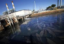 Manatees gather near the outlet where Florida Power & Light Company (FPL) pipes warm the water, at an inactive power plant undergoing renovation works in Riviera Beach, Florida in this January 7, 2010, file photo. REUTERS/Carlos Barria/Files