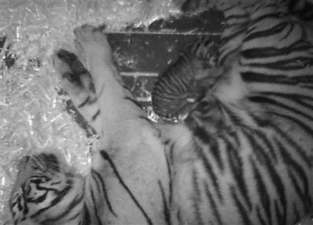 Rare Sumatran tiger cub born at San Francisco zoo