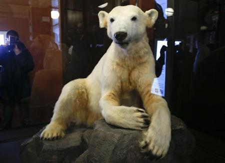 The full-sized polar bear Knut model covered with the original fur is pictured during the presentation to the media at the natural history museum in Berlin February 15, 2013. REUTERS/Fabrizio Bensch