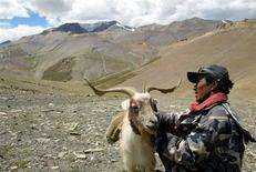 Indian nomad Sonan Stobgeus inspects his Pashmina goat at Taglang La in the Ladakh region of northern Indian state of Jammu and Kashmir. Picture taken August 22, 2002.
