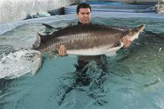 Biologist Robinson Orozco moves a 400 lbs (181 kg) female beluga sturgeon to spawn with males at Sturgeon AquaFarms in Bascom, Florida February 8, 2013. REUTERS/Michael Spooneybarger