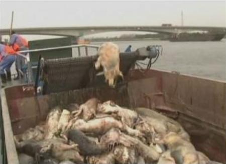 3月11日、中国共産党機関紙・人民日報系の環球時報は、上海市の主要水源の一つである黄浦江で2200頭を超える豚の死骸が発見されたと伝えた。写真はCCTVの映像から(2013年 ロイター)