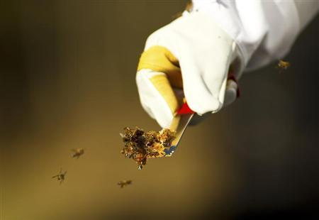 Honey bees swarm around a small piece of honeycomb on a farm in North Carolina, December 14, 2012. REUTERS/Chris Keane
