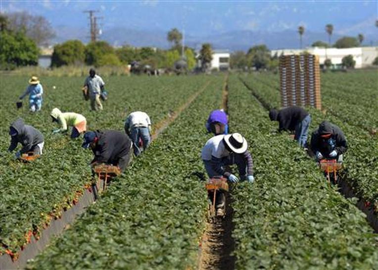 Ventura County Strawberry Fields