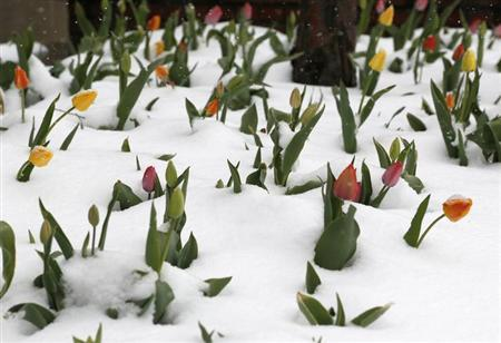 A bed of tulips is covered with fresh snow in downtown Golden, Colorado May 1, 2013. REUTERS/Rick Wilking